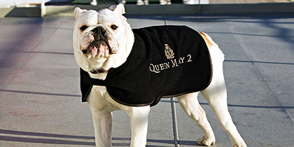 A bulldog in the QM2 kennel