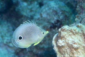 dominica butterfly fish