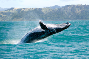 coast maui whale watching maui hawaii