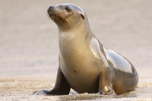 la jolla beach sea lion san diego