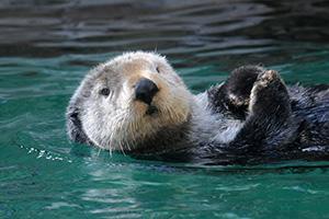 Sea Otter at the Seattle Aquarium